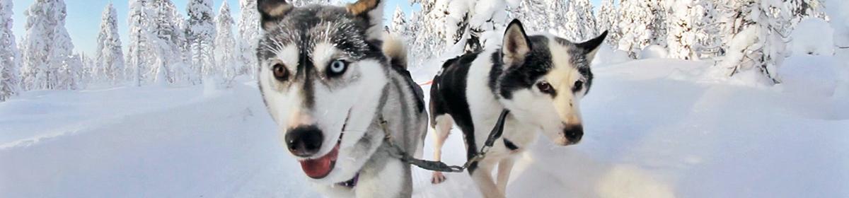 Поездка на собаководческую ферму с катанием на упряжках