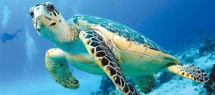 Плавание с черепахами в Мексике
