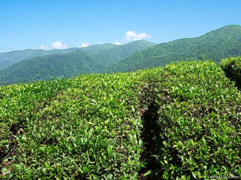 Хостинский чай - производственная экскурсия с дегустацией