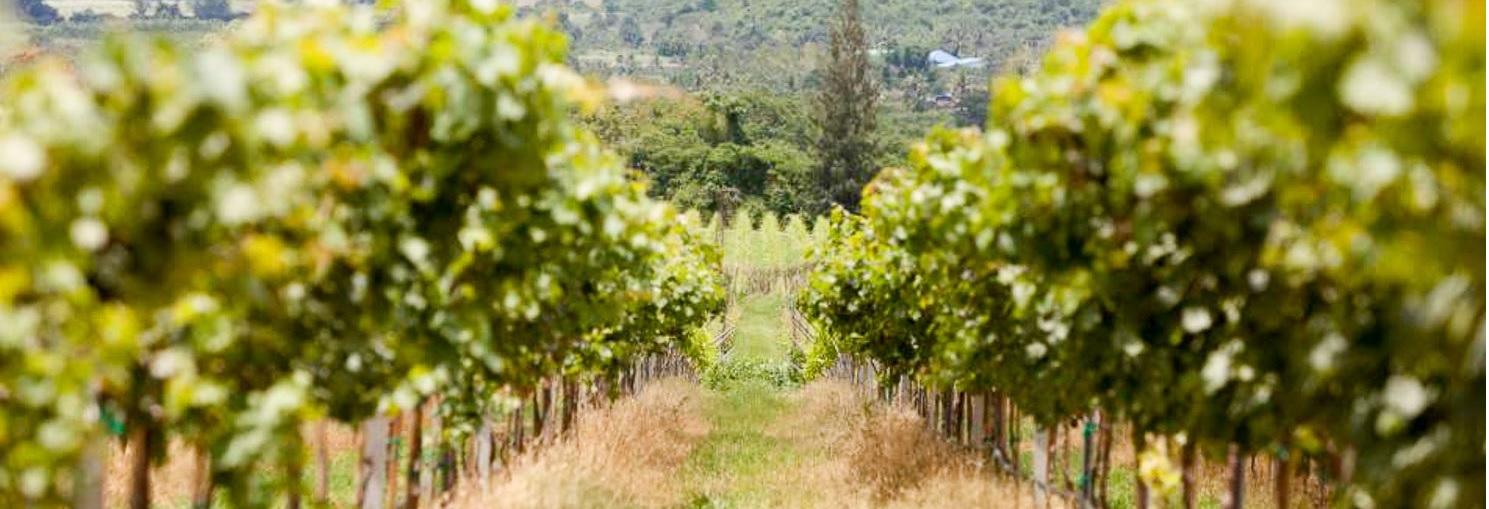 Виноделие в тропиках