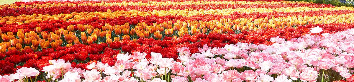 Парк цветов Кёкенхоф (Кёйкенхоф)