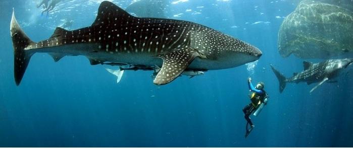 Плавание с китовыми акулами в Мексике