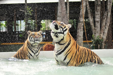 Королевство тигров на Пхукете